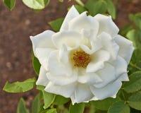 Ursprunglig vit rosa blomma i trädgården arkivbilder