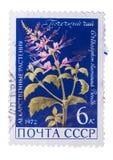 URSS - CERCA DE 1972: Um selo impresso dentro mostra o Orthosiphon Fotografia de Stock