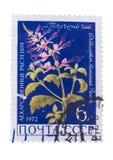 URSS - CERCA DE 1972: Um selo impresso dentro mostra o Orthosiphon Fotos de Stock Royalty Free