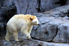 Ursus américanus, ours de marche Photographie stock libre de droits