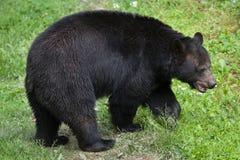 Ursus americano dell'orso nero americanus Immagine Stock