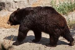 Ursus americano dell'orso nero americanus Fotografia Stock
