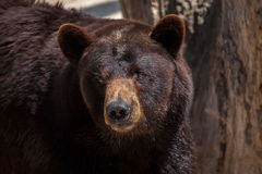 Ursus americano dell'orso nero americanus Immagine Stock Libera da Diritti