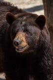 Ursus americano dell'orso nero americanus Fotografia Stock Libera da Diritti
