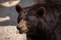 Ursus americano do urso preto americano Fotografia de Stock
