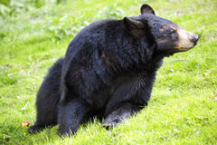 Ursus americanus, American black bear Royalty Free Stock Images