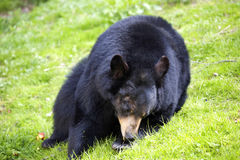 Ursus americanus, American black bear Royalty Free Stock Photo