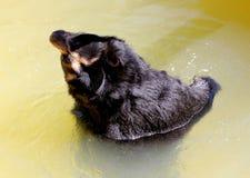 Ursus americanus on the lake Stock Photos