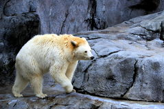 Ursus americanus, Walking bear Royalty Free Stock Photography