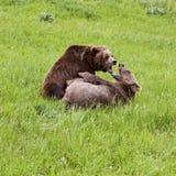 Ursus arctos медведя гризли в драке Стоковые Изображения RF