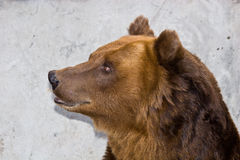 Ursus arctos Lizenzfreie Stockfotografie