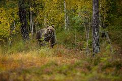 Ursus arctos. The brown bear is the largest predator in Europe. He lives in Europe, Asia and North America. Wildlife of Finland. Photographed in Finland Royalty Free Stock Photography