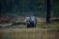 Ursus arctos. The brown bear is the largest predator in Europe. He lives in Europe, Asia and North America. Wildlife of Finland. Photographed in Finland Royalty Free Stock Images