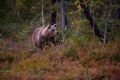 Ursus arctos. The brown bear is the largest predator in Europe. He lives in Europe, Asia and North America. Wildlife of Finland. Photographed in Finland Royalty Free Stock Image