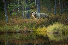 Ursus arctos. The brown bear is the largest predator in Europe. He lives in Europe, Asia and North America. Wildlife of Finland. Photographed in Finland Stock Photos