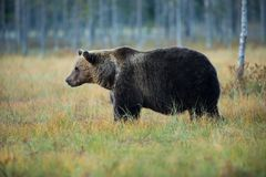 Ursus arctos. The brown bear is the largest predator in Europe. He lives in Europe, Asia and North America. Wildlife of Finland. Photographed in Finland Stock Images