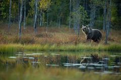 Ursus arctos. The brown bear is the largest predator in Europe. He lives in Europe, Asia and North America. Wildlife of Finland. Photographed in Finland Royalty Free Stock Photo