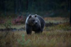 Ursus arctos. The brown bear is the largest predator in Europe. He lives in Europe, Asia and North America. Wildlife of Finland. Photographed in Finland Stock Photo