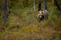Ursus arctos. The brown bear is the largest predator in Europe. He lives in Europe, Asia and North America. Wildlife of Finland. Photographed in Finland Stock Image