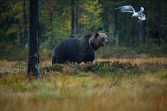 Ursus arctos. The brown bear is the largest predator in Europe. He lives in Europe, Asia and North America. Wildlife of Finland. Photographed in Finland Royalty Free Stock Photos