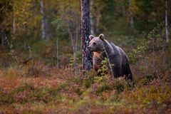 Ursus arctos. The brown bear is the largest predator in Europe. He lives in Europe, Asia and North America. Wildlife of Finland. Photographed in Finland Stock Photography
