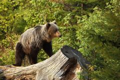 Ursus arctos. Brown bear. The photo was taken in Slovakia. Royalty Free Stock Photography