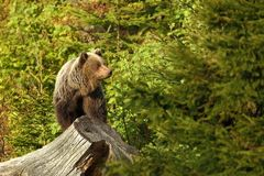 Ursus arctos. Brown bear. The photo was taken in Slovakia. Royalty Free Stock Images