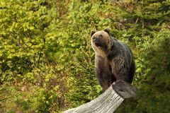 Ursus arctos. Brown bear. The photo was taken in Slovakia. Stock Images