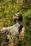 Ursus arctos. Brown bear. The photo was taken in Slovakia. Stock Image