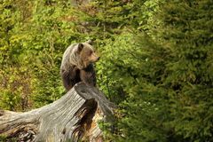 Ursus arctos. Brown bear. The photo was taken in Slovakia. Royalty Free Stock Image