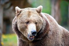 Ursus arctos - brown bear Royalty Free Stock Images