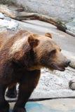 Ursus arctos. Brown big bear stock photo