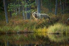 Ursus arctos Brown niedźwiedź jest wielkim drapieżnikiem w Europa Zdjęcia Stock