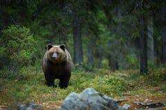 Ursus arctos Der Braunbär ist der größte Fleischfresser in Europa stockfotos
