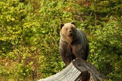 Ursus arctos Foto sind im Berlin-Zoo geschossen worden Das Foto war eingelassene Slowakei lizenzfreies stockbild