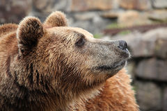 Ursus arctos Royalty Free Stock Image