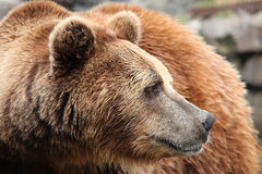 Ursus arctos. Head close-up Royalty Free Stock Images