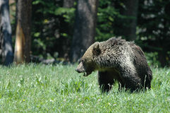Ursus arctos horribilis Royalty Free Stock Images