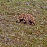 Ursus arctos horribilis zdjęcie stock