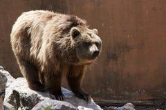 Ursus arctos Stock Images