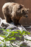 Ursus arctos Stock Photography