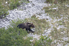 Ursus arctos marsicanus, Marsican brown bear walking in Abruzzo mountains, Italy Royalty Free Stock Photography