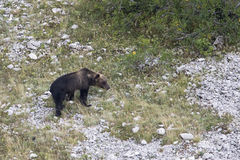Ursus arctos marsicanus, Marsican brown bear walking in Abruzzo mountains, Italy Royalty Free Stock Photos