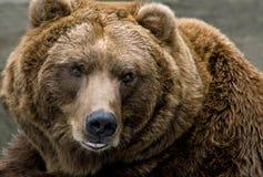 ursus arctos ponoszą brown obraz stock