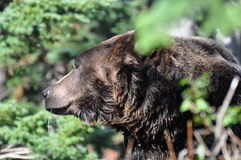 Ursus arctos. Side shot of face of a Grizzly Bear Royalty Free Stock Photos