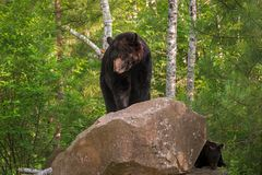 Ursus dell'orso nero della femmina adulta americanus su roccia con il cucciolo Fotografia Stock