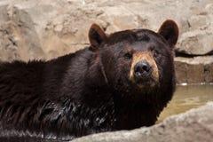 Ursus des Amerikanischen Schwarzbären americanus Lizenzfreie Stockfotos