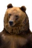 ursus för arctosbjörnbrown Fotografering för Bildbyråer