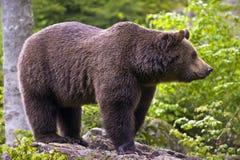 ursus för european för arctosbjörnbrown Arkivbild