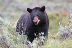 Ursus för svart björn för kvinnlig moder som amerikansk är americanus i den Yellowstone nationalparken i Wyoming royaltyfri bild